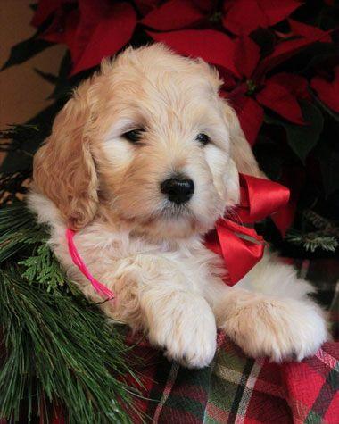 Goldendoodle Puppies in Virginia by McKenzies Doodles