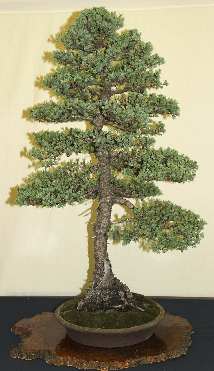 Jpb:bonsai Collection:唐松american Larch Indoor Bonsai