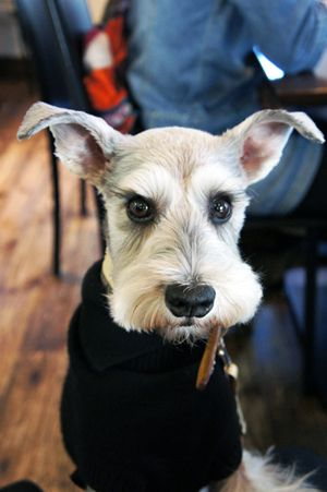 Just look at those lashes and those big beautiful eyes, such a darling little mini schnauzer❤️