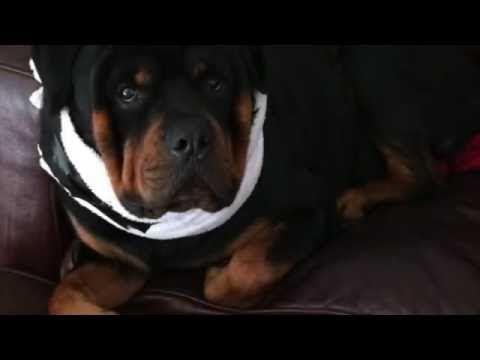 DIY Comfy Dog Cone | How to Make a Homemade Dog Cone Alternative - YouTube