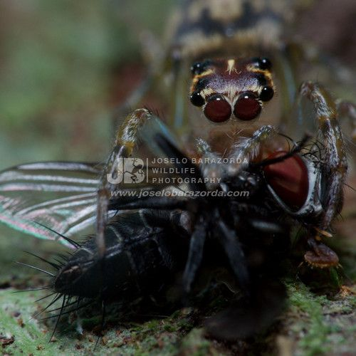 Jumping Spider munching on a fly