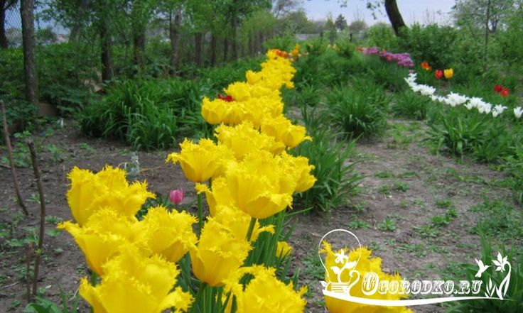 Выращивание тюльпанов, посадка и уход - все самое главное и важное.Опытные цветоводы раскрывают секреты успешного выращивания тюльпанов и ...