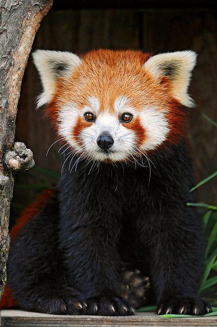 ~~Posing red panda by Tambako the Jaguar~~