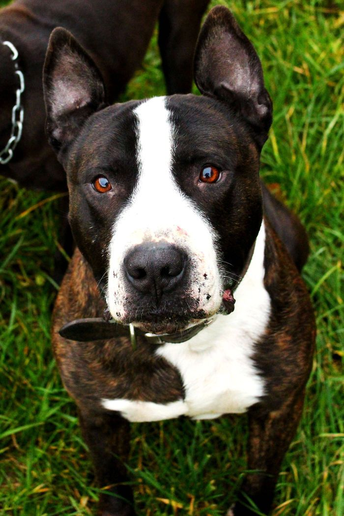 Chien - American Staffordshire Terrier - Ramses  on www.yummypets.com Dog, puppy, pooch, animals, woof, pets, barking, Yummypets