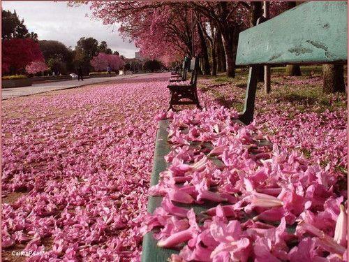 ipe de jardim botânico:de porte médio, o Ipê-rosa no período do outono, se enche de