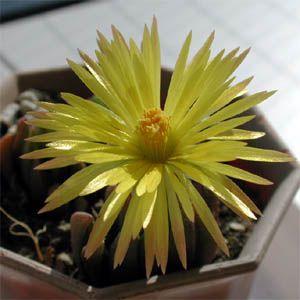 Bergeranthus scapiger flower