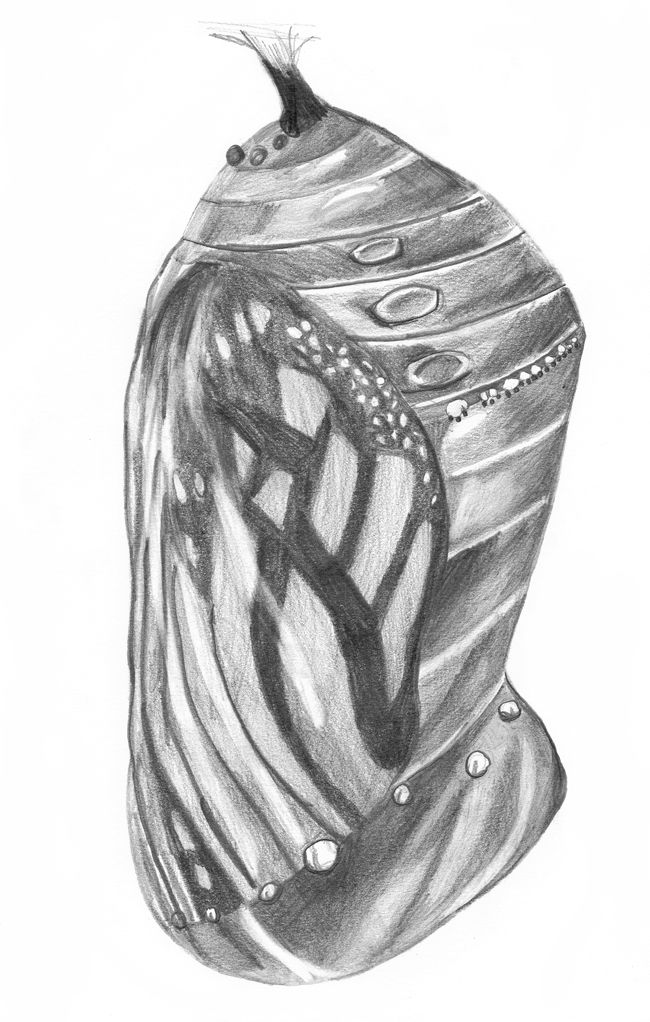 Butterfly Cocoon Drawing 65 best images about C...