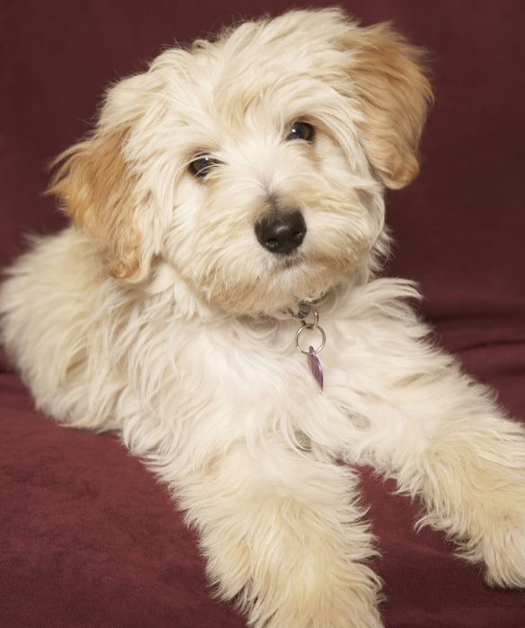Havanese, an irresistibly cute toy breed known for its non-shedding coat. According to the American Kennel Club, the Havanese is growing in popularity as a family pet. It's affectionate, smart, quiet, and can be equally happy exercising or relaxing in your lap.