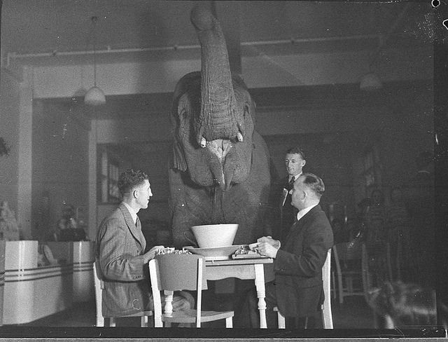 Elephant's tea party, Robur Tea Room, 24 March 1939, by Sam Hood Find out more information about this image: http://acms.sl.nsw.gov.au/item/itemDetailPaged.aspx?itemID=75203