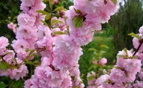 Výsledek obrázku pro keře na jaře kvetoucí