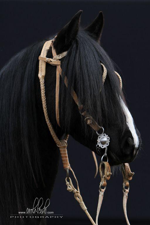 Bilder - Criollo. Gorgeous dark black horse with white blaze and interesting…