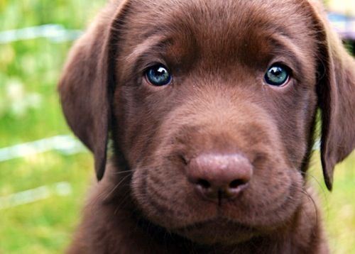 Brown lab pup with blue eyes | MSU TC 247 Fall 2013 ...