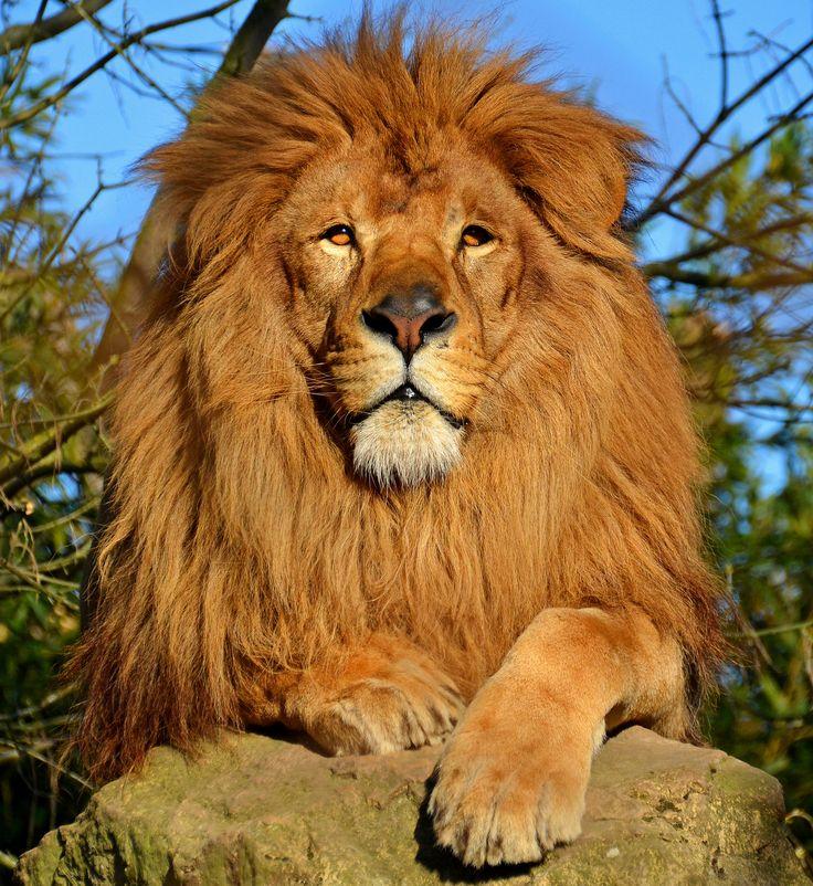 Beautiful lion [2748x2995][OS]