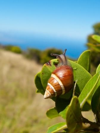 Moloka'i singing snails featured by Scientific American. Photo by David Sischo.
