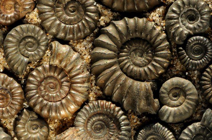 What Are Ammonites   ammonites piritizados de hecho los ammonites se convirtieron en una