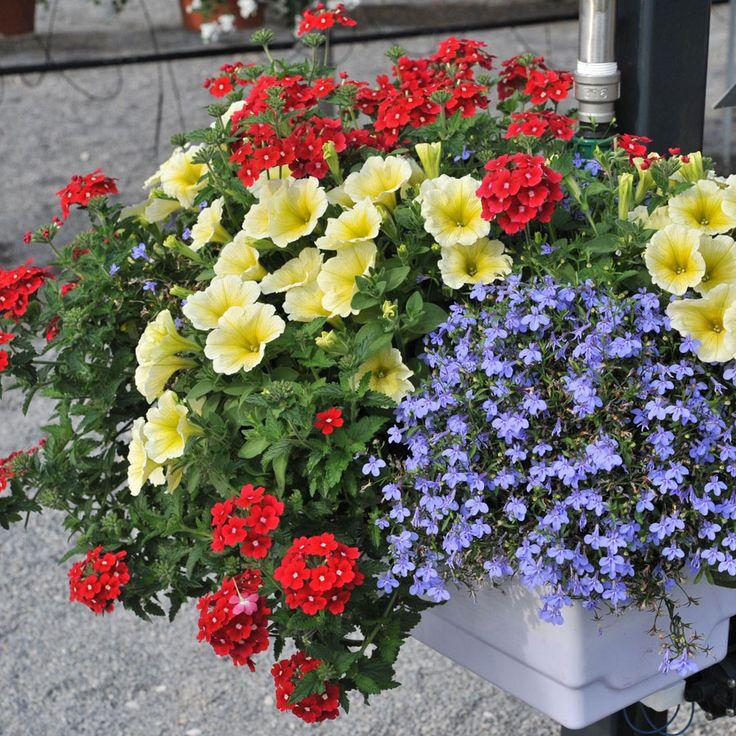Blue lobelia, white petunia, red verbena