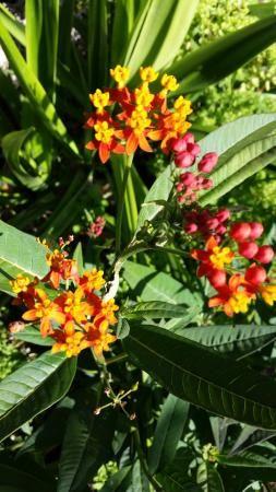 Asclepia - Planta nutrica de las mariposas Monarca