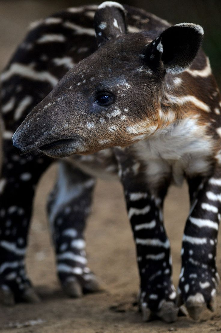 young tapir   (by elmer martinez)
