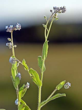 Peltolemmikki, Myosotis arvensis - Kukkakasvit - LuontoPortti