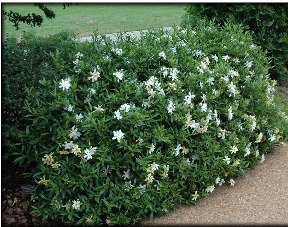 Dwarf gardenia -- small fragrant flowers in Spring