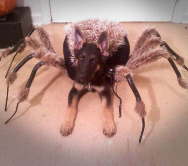 Spider dog costumes cheap #dogcostumes