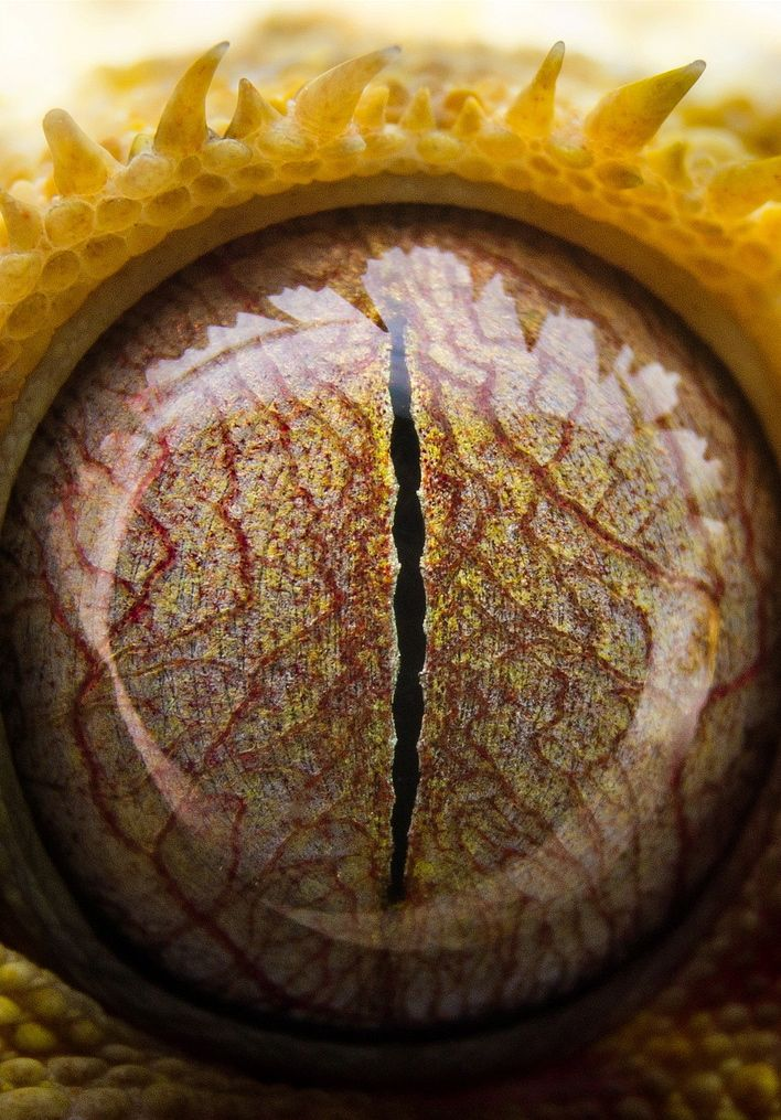 Eye of a crested gecko
