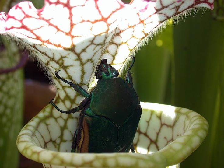 June bug in sarracenia