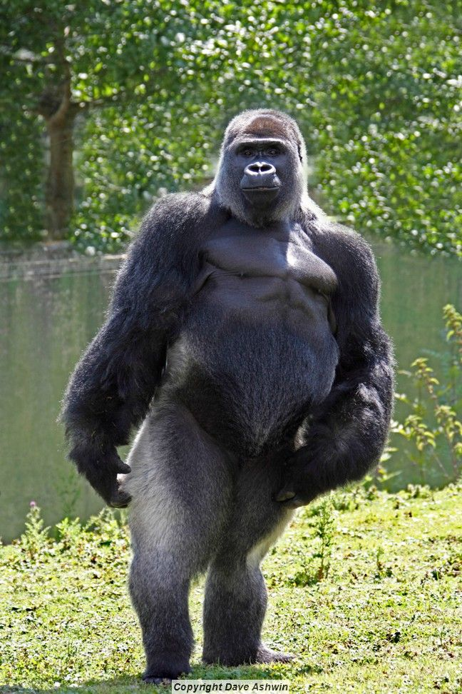Gorilla standing up - photo#1