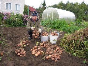 Советы опытной огородницы  Как с 20 кустов, собрать 40 вёдер картофеля Можно ли вырастить с одного куста — целое ведро картофеля? Можно!!!  Каждому типу почвы соответствуют свои агротехнические прие…