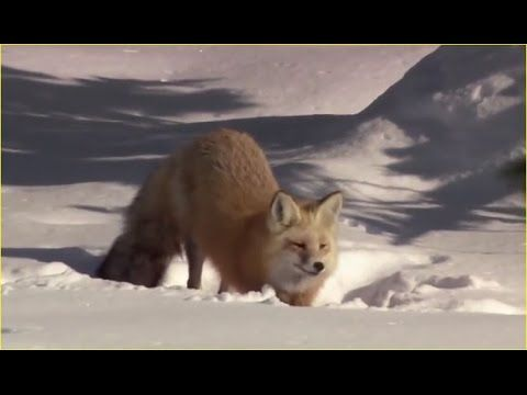 Christmas in Yellowstone Nature | Yellowstone National Park Documentary ...