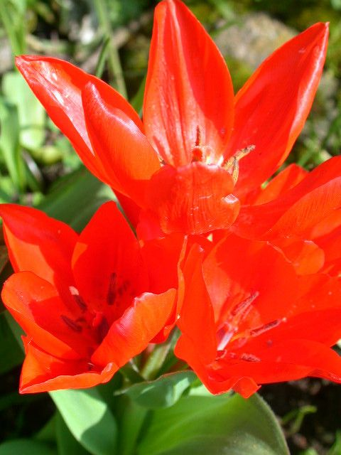 Tulip Praestans Fusilier   One Of The Best Dwarf Varieties With Three To  Five Orange