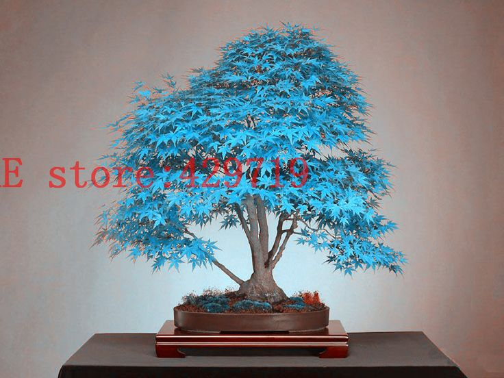 20 blue maple tree seeds bonsai maple tree seed  rare sky blue color   Balcony plants for home garden decoration kid love gift