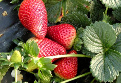 Consejos para cultivar las fresas (o frutillas) perfectas
