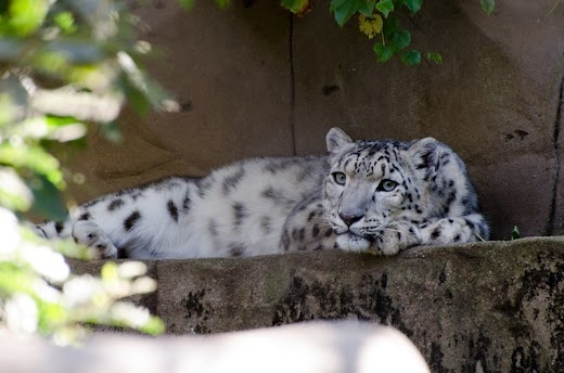 #patchholidayfun  The girls would love to see Snow Leopard from the Melbourne Zoo