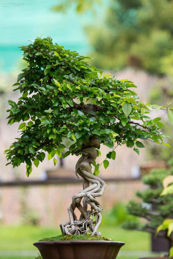 https://flic.kr/p/GwjS1t | Bonsai exhibition | bonsai exhibition Prague Botanical Gardens