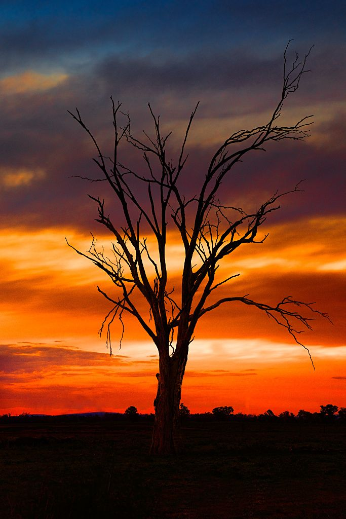 A lone tree stands in the Australian outback, silhouetted against the setting sun.//Billimari, New South Wales, Australie