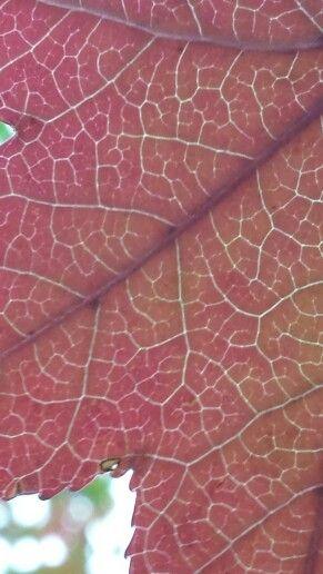 Light through autumn leaf Mt Cootha -tha Gardens. Copyright wendy bennett 2015.