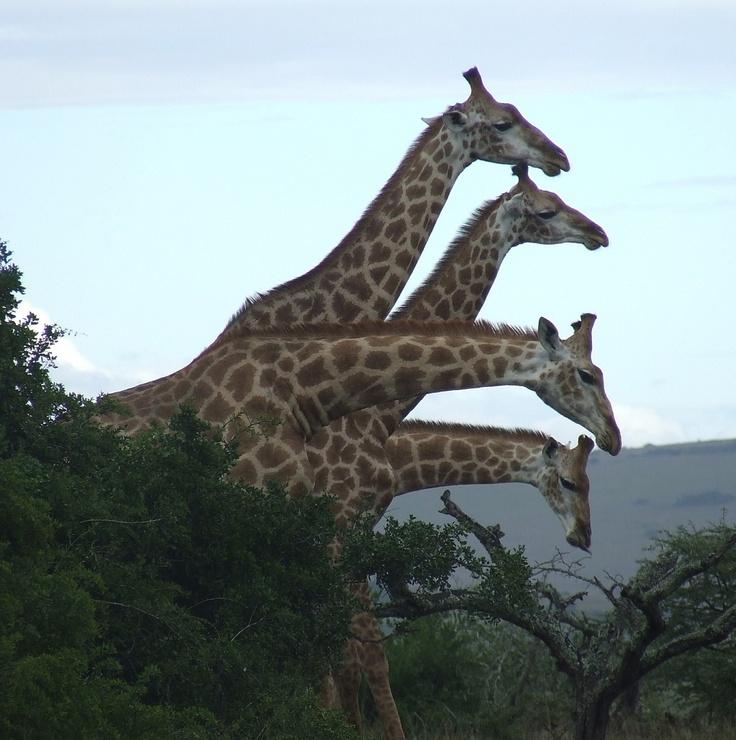 Giraffes at Amakhala, Eastern Cape, South Africa.