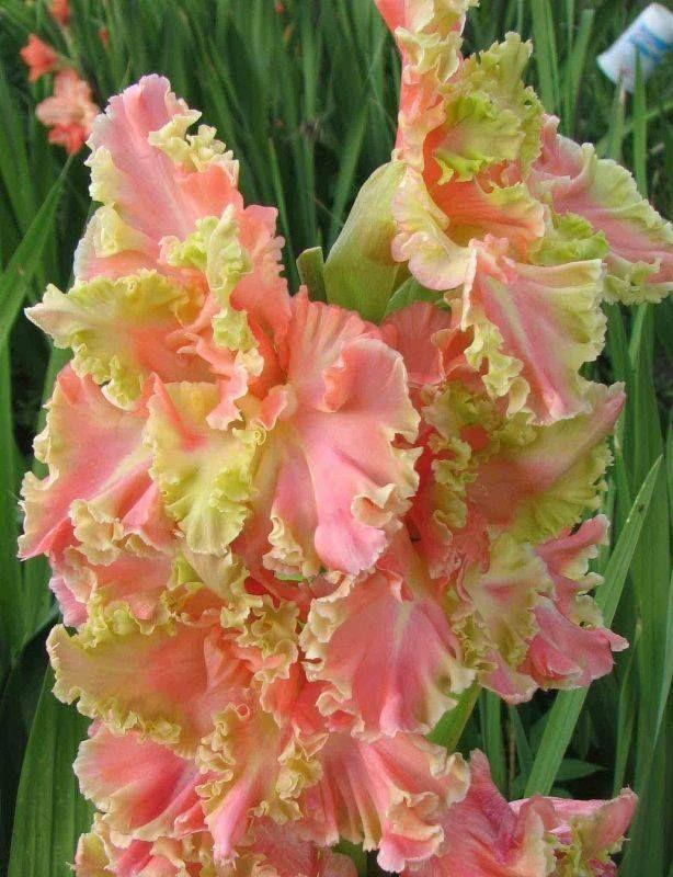 ~Gladiolus 'Wasabi Salmon 403'