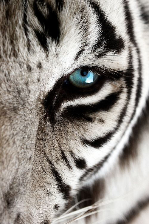 """Eye of the Tiger"" ~ Photography by Erin Gardner on Flickr."
