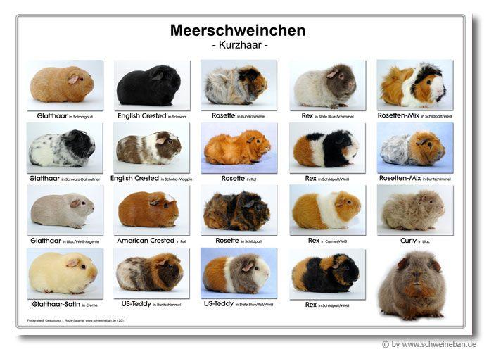 Informationen über Meerschweinchen: Herkunft - Lebensweise - Rassen