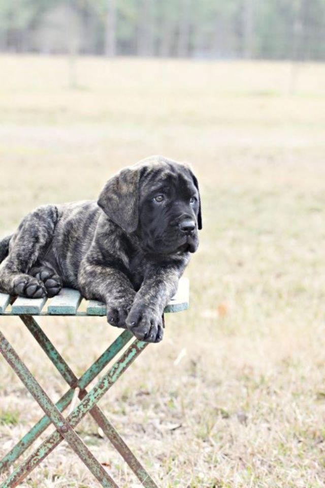 English #Mastiff #Puppy   ❤