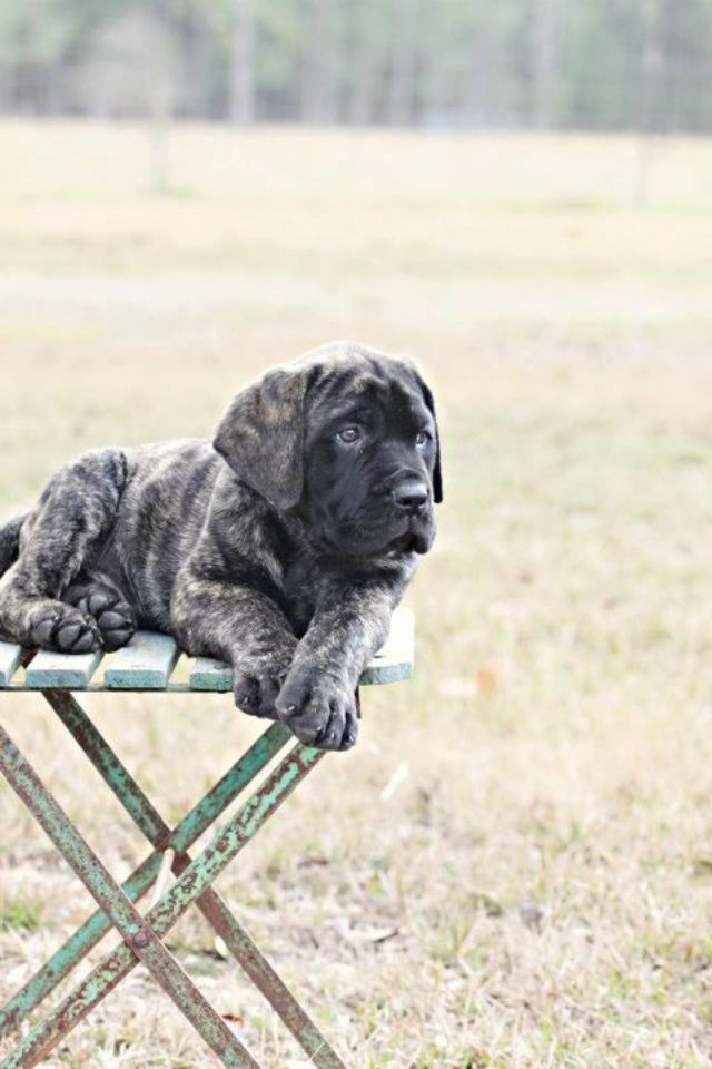 One day, I will bring one of these little babies home with me!  My next puppy: an English Mastiff.