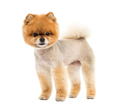 Teacup Pomeranian Puppies For Sale In Ohio Pomeranian