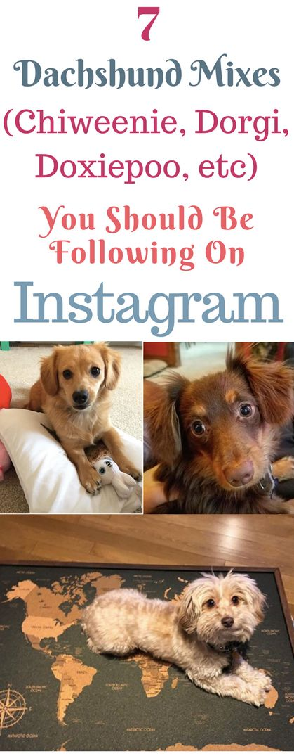 Who doesn't love dachshunds?! These mixed doxies have amazing pictures on Instagram that show them as a puppy, funny pictures, training, cute pictures, gifts, and more! See long haired, dapple, miniature,wirehaired and mix weiner dogs with these IGs #dachshund