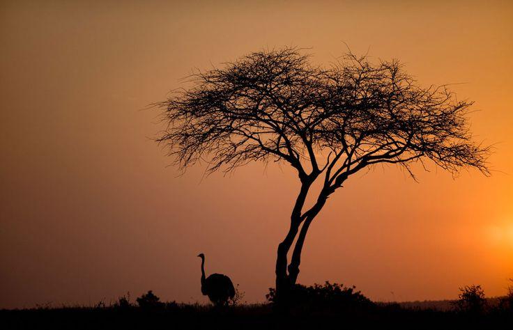 Silhouette of an ostrich, Tarangire NP Photos