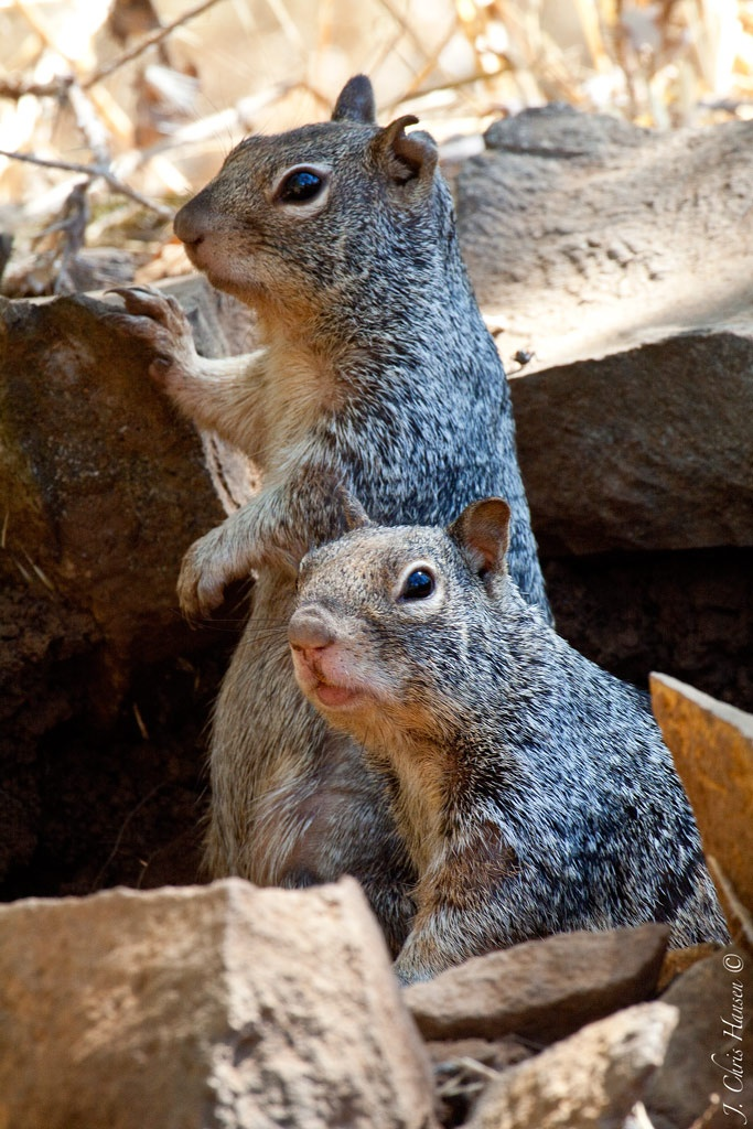 Another boring day in the rockpile (California Ground Squirrels)