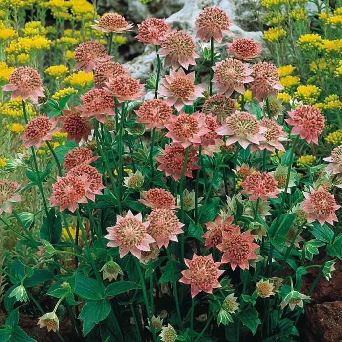 de belles plantes d'ombre - la Grande Astrance à fleurs rougeâtres
