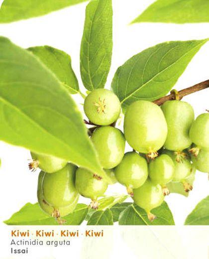 Actinidia arguta 'Issai' - mini-kiwi - Fruit   Maréchal