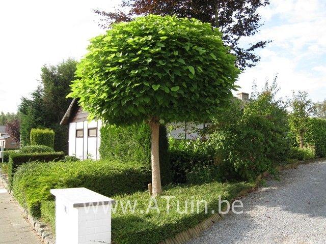 catalpa bignonioides 39 nana 39 bolcatalpa trompetboom. Black Bedroom Furniture Sets. Home Design Ideas